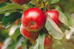 Organic apples hanging from a tree branch Stock Photo