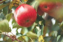 Organic apples hanging from a tree branch Royalty Free Stock Photos
