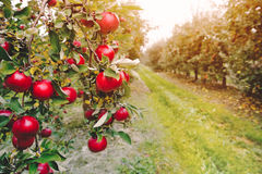 Organic apples hanging from a tree branch Royalty Free Stock Image