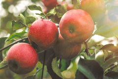 Organic apples hanging from a tree branch in an apple orchard Royalty Free Stock Image