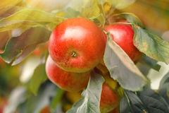 Organic apples hanging from a tree branch in an apple orchard Stock Photo