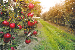 Organic apples hanging from a tree branch in an apple orchard Stock Photos