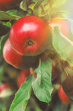 Organic apples hanging from a tree branch in an apple orchard Stock Photography