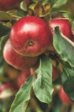Organic apples hanging from a tree branch in an apple orchard Royalty Free Stock Images