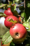 Organic apples on a tree Royalty Free Stock Images
