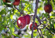 Organic apples on the tree Royalty Free Stock Images