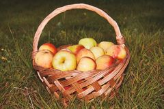 Healthy organic apples in the basket royalty free stock photos