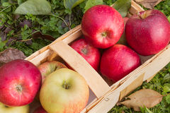 Organic apples in a wooden basket Royalty Free Stock Image