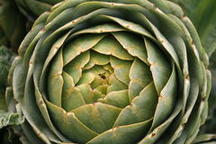 Organic artichokes Stock Photography