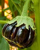 Organic Aubergine Royalty Free Stock Image