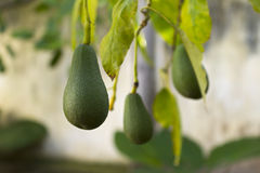 Organic avocado pears on tree Stock Photo