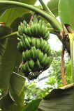 Organic Bananas Growing on Tree Royalty Free Stock Photos
