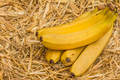 Organic bananas, latin – musa. Banana fruits on natural straw background. Organic bananas latin – musa, a product of eco agriculture are important part of Stock Photos