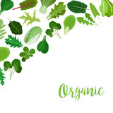 Organic banner with salad leaves Royalty Free Stock Photography