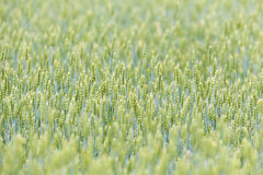 Organic barley field Royalty Free Stock Photography