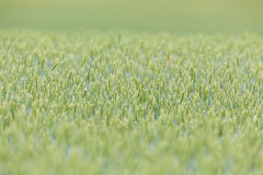 Organic barley field Stock Images