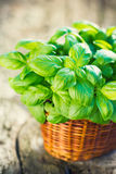 Organic basil plant Stock Photography