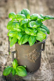 Organic basil plant Stock Photo