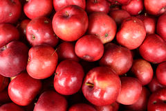Organic Beacon (MALUS domestica 'Beacon') Apples Royalty Free Stock Images