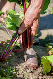 Organic beet Royalty Free Stock Photography