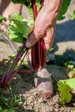 Organic beet Royalty Free Stock Photography