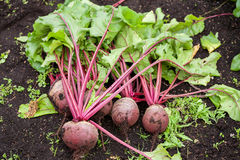 Organic beetroot Royalty Free Stock Photos