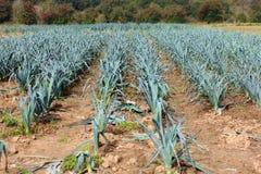 Organic bio leek field Royalty Free Stock Image