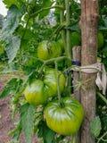 Organic Bio Tomatoes. Green unripe Organic Bio Tomatoes in a traditional garden stock images