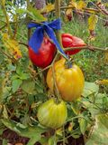 Organic Bio Tomatoes. Green yellow and red Organic Bio Tomatoes in a traditional garden stock photography