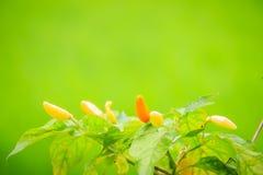 Organic bird chili (Capsicum frutescens) farming in green rice f Stock Image