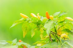 Organic bird chili (Capsicum frutescens) farming in green rice f Royalty Free Stock Photos
