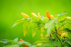 Organic bird chili (Capsicum frutescens) farming in green rice f Royalty Free Stock Image