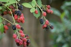 Organic Blackberries Royalty Free Stock Images