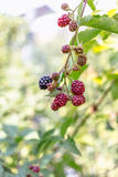 Organic blackberries on the bush. Fresh organic blackberries on the bush Royalty Free Stock Images