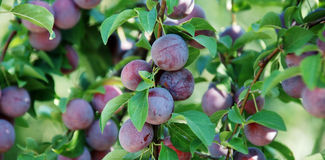 Organic blue plums on a branch Royalty Free Stock Photos