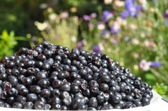 Organic blueberry in beautiful garden background  commonly called bilberry, whortleberry, huckleberry or European blueberry. Stock Photos