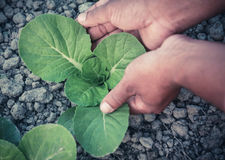 Organic Bok Choy cultivation Stock Photography
