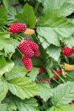 Organic boysenberries growing on boysenberry bush. Closeup of organic boysenberries growing on boysenberry bush stock photo