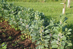 Organic broad bean plants in flower. Royalty Free Stock Images