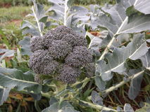 Organic broccoli growing in field Stock Photography