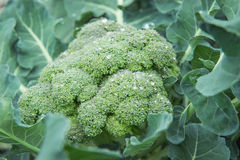 Organic broccoli with water drops Stock Image