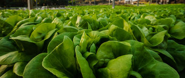 Organic Butter Lettuce Royalty Free Stock Photo