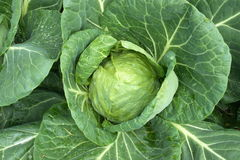 Organic cabbage Stock Photography