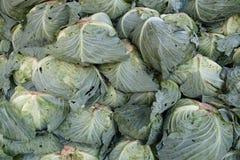 Organic cabbage arranged Stock Photos
