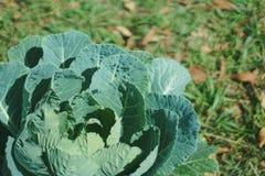 Organic Cabbage Stock Image