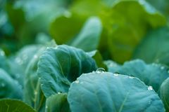 Organic cabbage crops with water drops. Organic cabbage crops with fresh water drops in a bright light Royalty Free Stock Photos