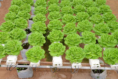 Organic cabbage farming Royalty Free Stock Photography