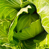 Organic cabbage on the field ready to harvest Royalty Free Stock Photography