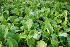 Organic cabbage fiels Stock Image