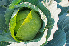 Organic Cabbage. Fresh Head of Cabbage on the Field Ready to Harvest. Organic Cabbage. Fresh Green Head of Cabbage on the Field Ready to Harvest Stock Photography